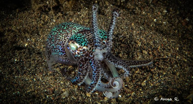 Bobtail Squid @ Jemeluk Night dive