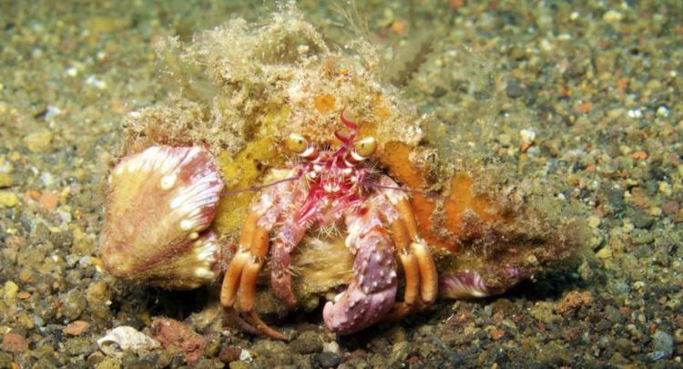 Hermit Crab @ Melasti - Amed