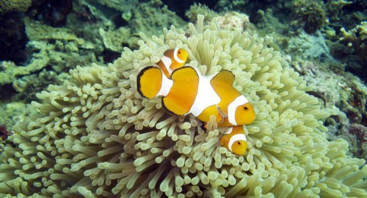 Clownfish @ Menjangan Island
