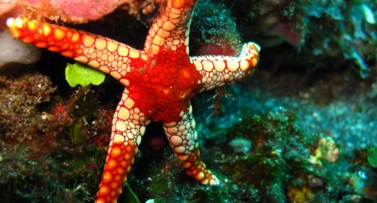 Seastar @ Bunutan Reef - Amed
